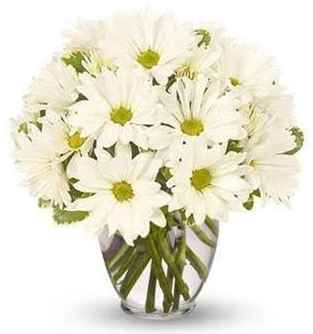 types of daisies  daisies meaning  daisies bouquet  yellow daisies  shasta daisies  what to plant with shasta daisies  gerbera daisies  purple daisies