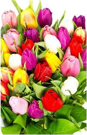 how to grow tulips  tulips bulbs  tulips meaning  parrot tulips  planting tulips in pots  tulips bouquet  when do tulips bloom  white tulips